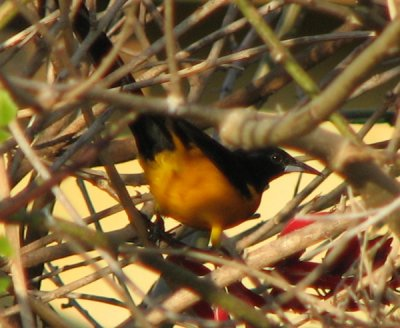 black-vented-oriole