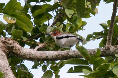 black-crowned-tityra