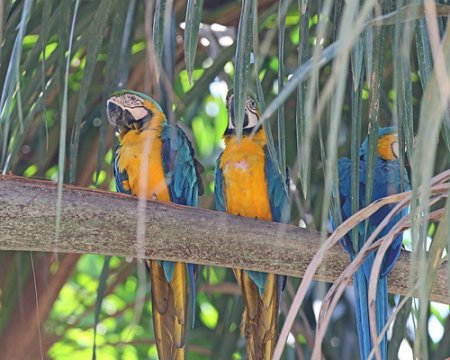 b-macaw-blue-and-yellow-31