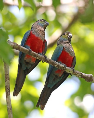 b-parakeet-crimson-bellied-44