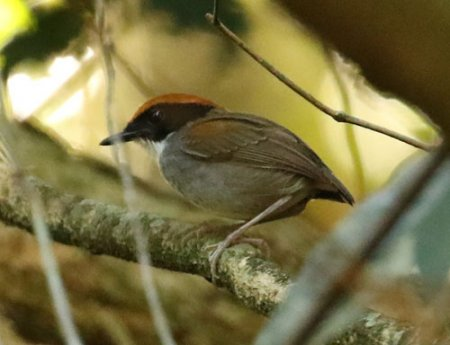 black-cheeked-gnateater-a