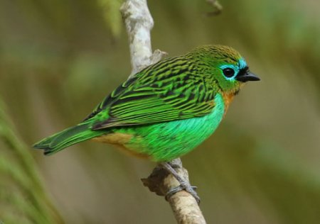 brassy-breasted-tanager-a