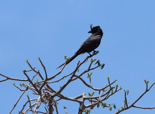 crested-drongo