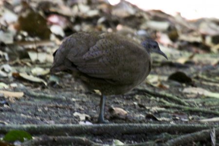 great-tinamou