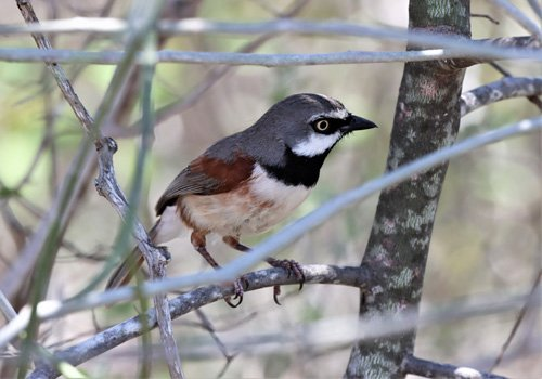 red-shouldered-vanga