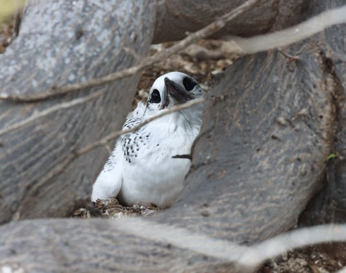 red-tailed-tropic-bird-chick