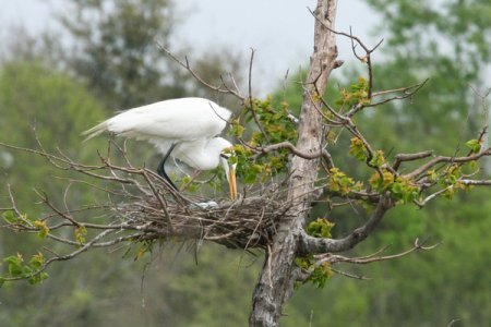 egret-with-eggs