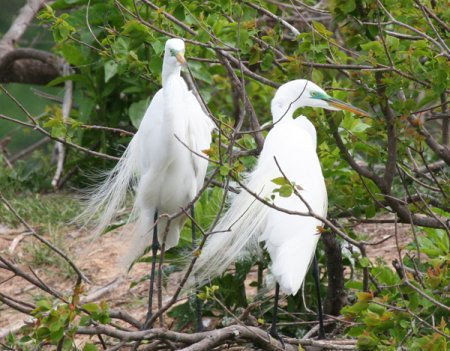 egrets-with-color
