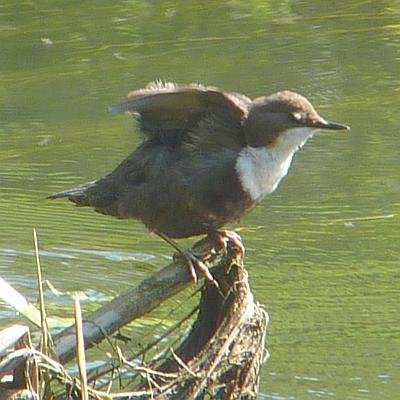 white-throated-dipper