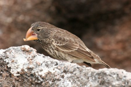 large-ground-finch