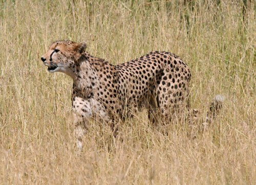 cheetah-blog