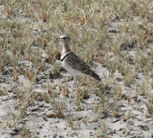 two-banded-courser