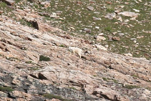 mountain-goat-small-1