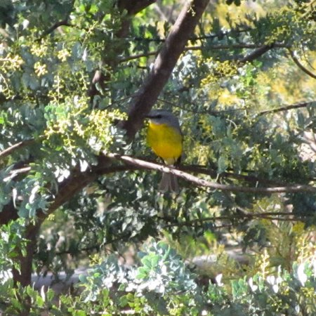 yellow-robin-sml