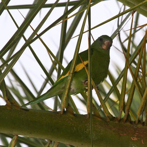 white-winged-parakeet-1