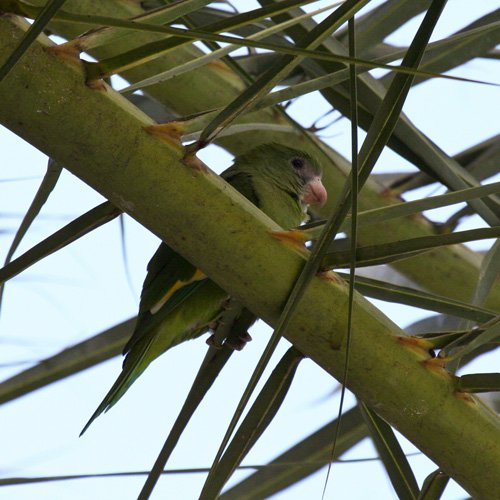 white-winged-parakeet-2