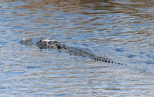 blog-crocodile_2566