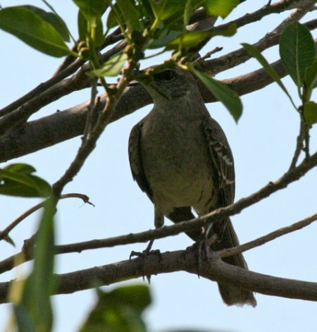blog-bahama-mockingbird_2509