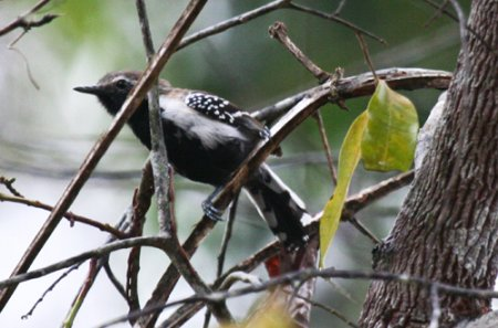 black-bellied-antwren