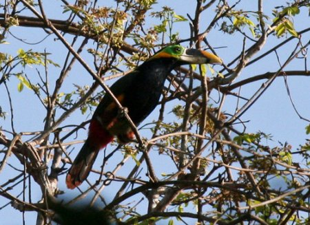 golds-toucanet