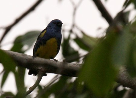 turquoise-tanager