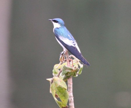 white-winged-swallow