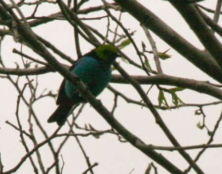 paradise-tanager-2
