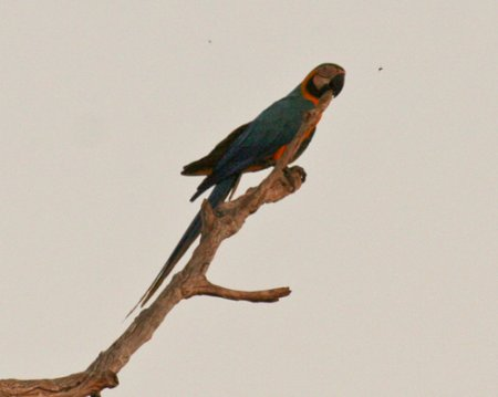 blue-yellow-macaw-3