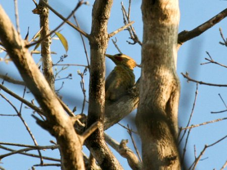 cream-colored-woodpecker