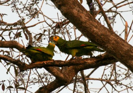 orange-winged-parrots