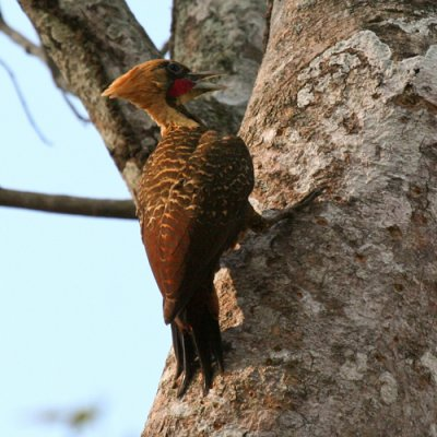 pale-crested-woodpecker