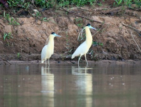capped-herons