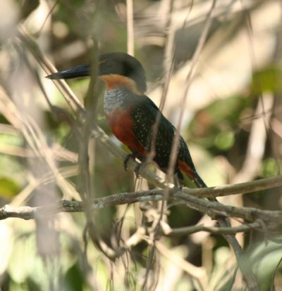 green-and-rufous-kingfisher-1
