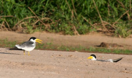 large-billed-terns