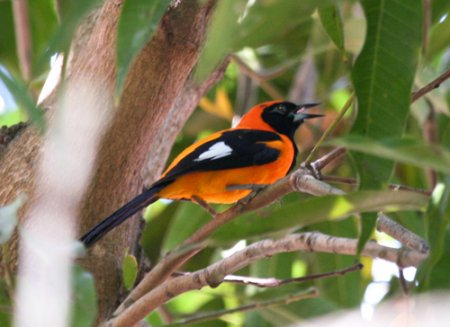 orange-backed-troupal