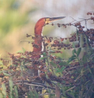 rufescent-tiger-heron