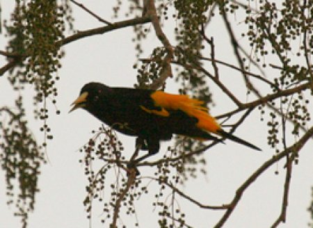 yellow-rumped-cacique_0