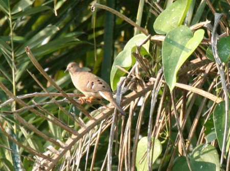 long-tailed-ground-dove