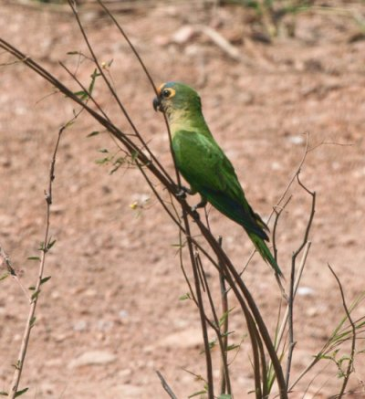 peach-fronted-parakeet