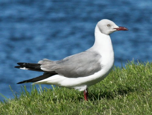 grey-headed-gull