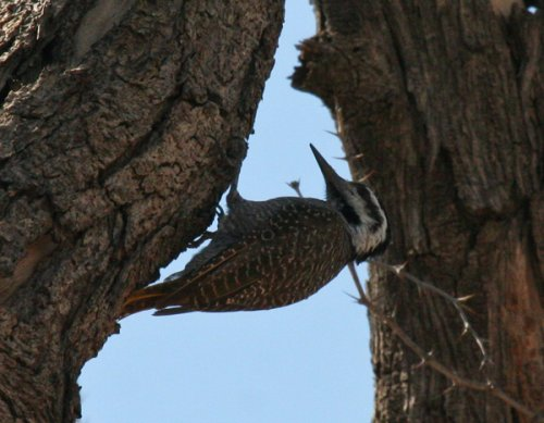 bearded-woodpecker