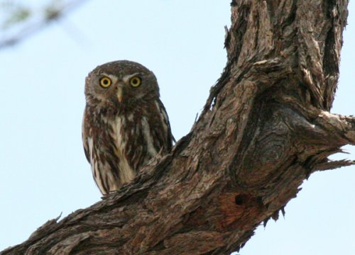 pearl-spotted-owlet