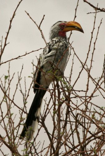 so-yellow-billed-hornbill
