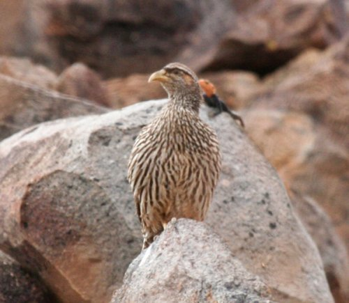 hartlaubs-spurfowl