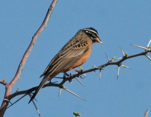 cinnamon-breasted-bunting