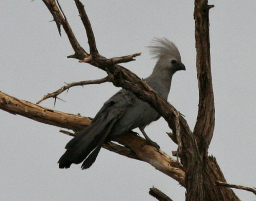 grey-go-away-bird