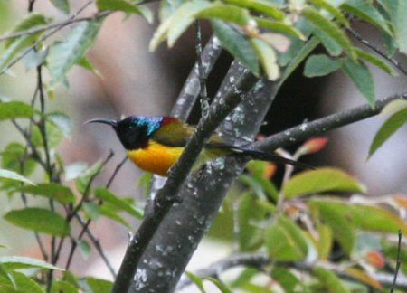 green-tailed-sunbird-1