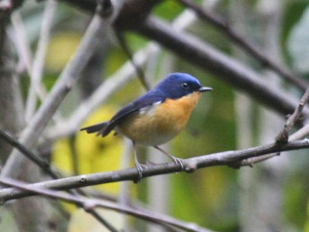pygmy-blue-flycatcher