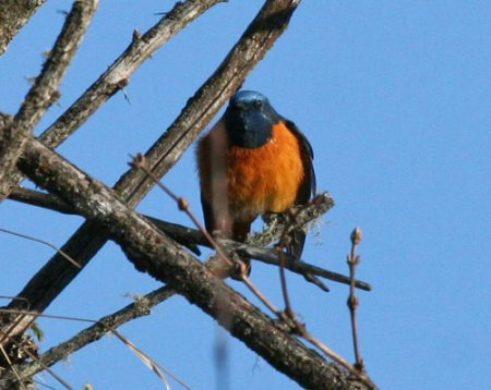 blue-fronted-redstart
