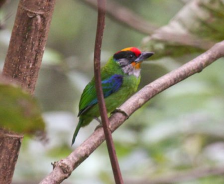 golden-throated-barbet